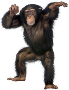 Young Chimpanzee dancing - Simia troglodytes (5 years old) in front of a white background